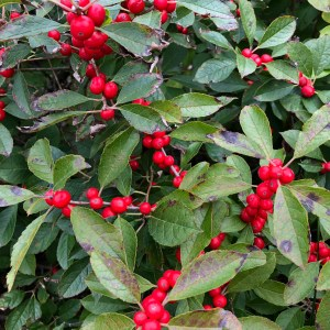 Photo of Winterberry Plant