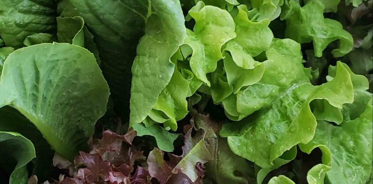 Fresh Garden Lettuce for Salads
