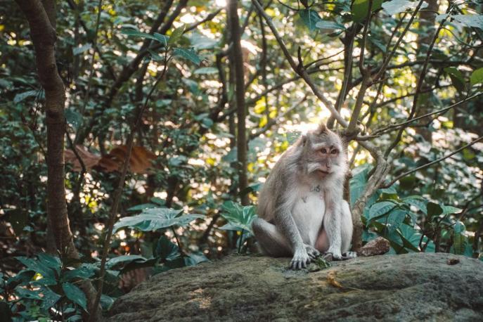 Opica v Monkey Forestu_1 (Stvari, ki jih lahko počneš v Ubudu)