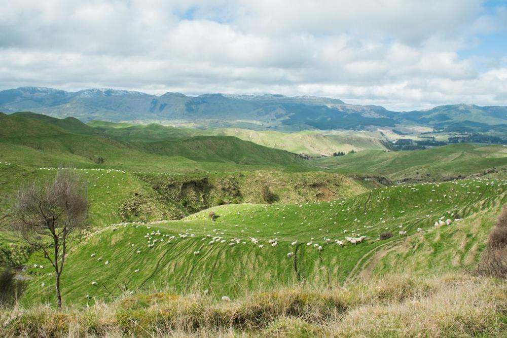Hundreds of sheep on green hills - a common view in New Zealand