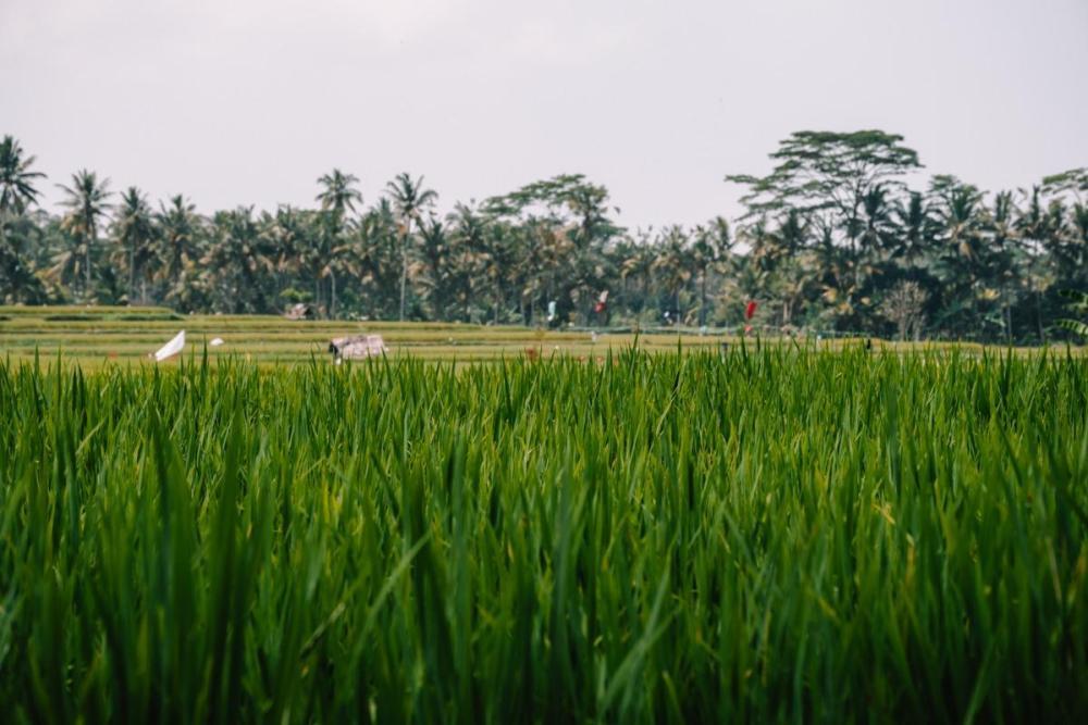 Zelene riževe bilke v ospredju, palme zadaj (Stroški potovanja za Bali)