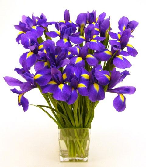 purple_iris.21011711