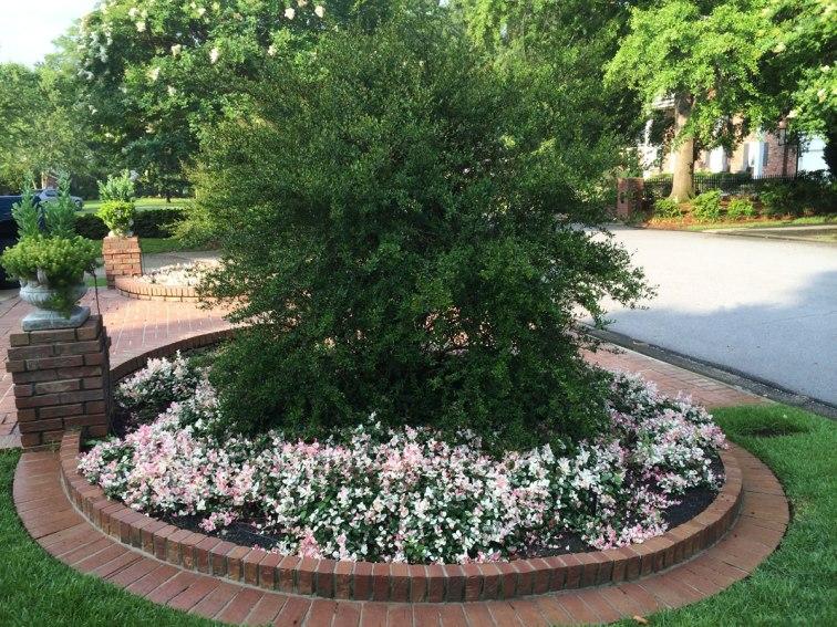 variegated-jasmine