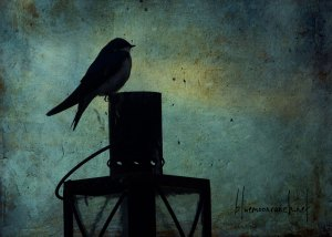 swallowshadow