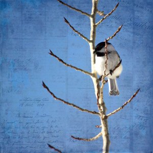 chickadee-mar1