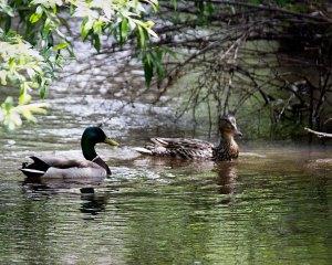 ducks-may29