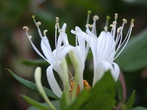 honeysuckle-flower-300x225