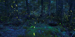 Synchronized Lightning bugs