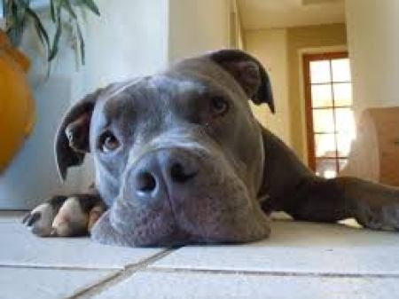good chew toys for pit bulls