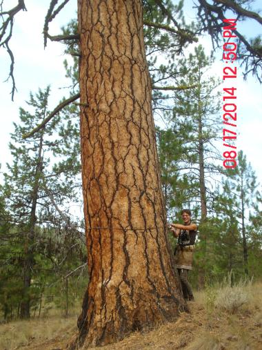 Kara with another large old growth Ponderosa pine in the Gap sale