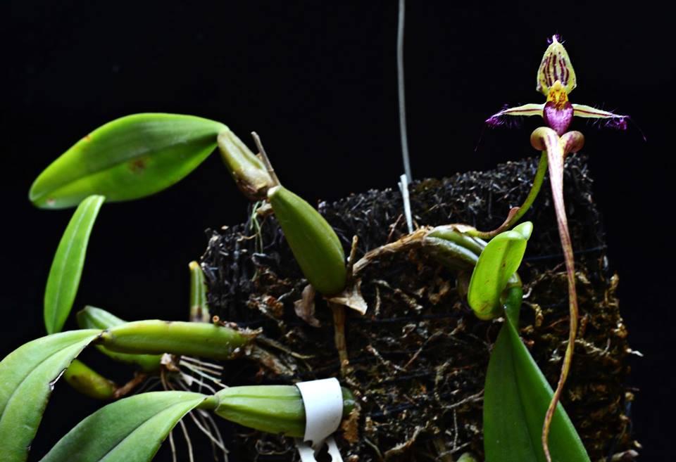 Resultado de imagem para Bulbophyllum putidum