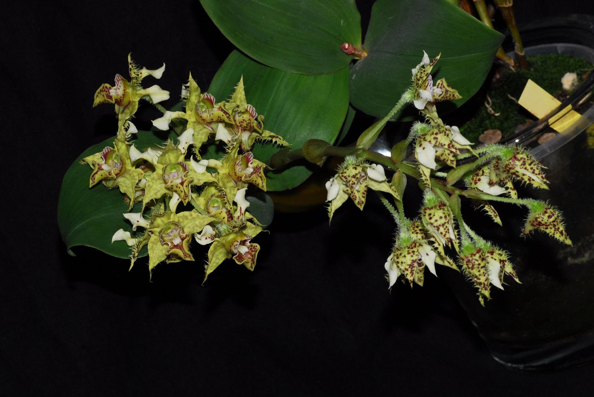 Resultado de imagem para Dendrobium polysema