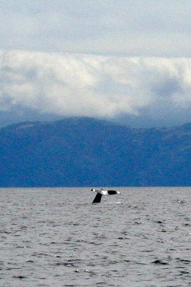 Whale in distance
