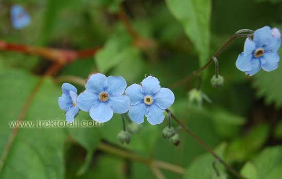 Forget me not flower in the Valley