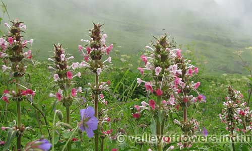 Morina Longifolia in the middle of the Valley of Flowers