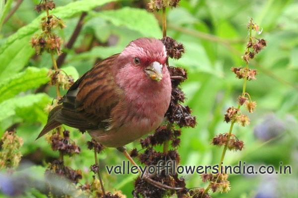 Pink Borrowed Rosefinch (Male) Found in Abundance in Ghangaria and Hemkund Sahib