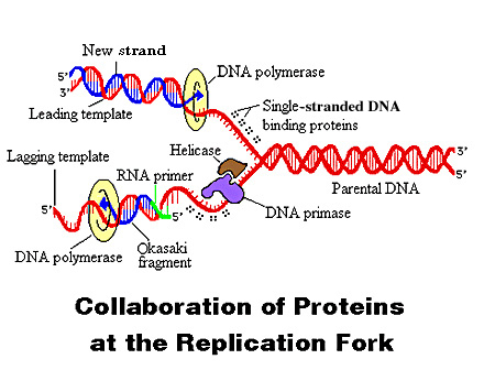 Blueprints for living creation vs evolution blog dna evidence multiple proteins collaborate to duplicate the dna molecule each new strand is composed of one malvernweather Images