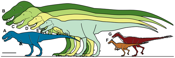 Comparative size of some therapod dinosaurs. A, Nanuqsaurus hoglundi, based on holotype, DMNH 21461. B, Tyrannosaurus rex, based on FMNH PR2081. C, Tyrannosaurus rex, based on AMNH 5027. D, Daspletosaurus torosus, based on FMNH PR308; E, Albertosaurus sarcophagus, based on TMP 81.10.1; F, Troodon formosus, lower latitude individual based on multiple sources and size estimates; G, Troodon sp., North Slope individual based on extrapolation from measurements of multiple dental specimens.