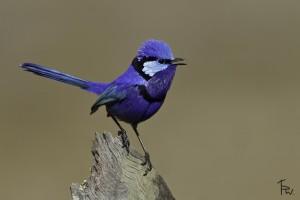 The Superb blue wren of Australia.