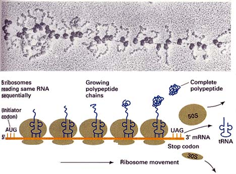 Translation through ribosomes,  amazing nano machines Ribosome