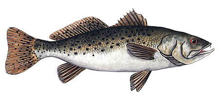 A speckled trout.