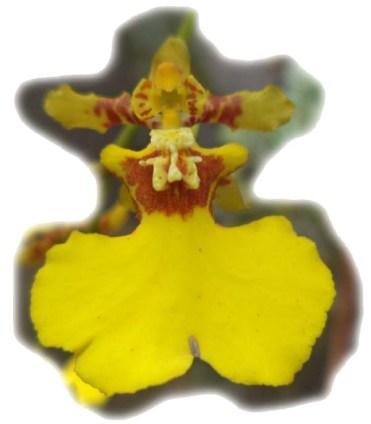oncidium-varicosum