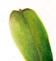 ujung daun