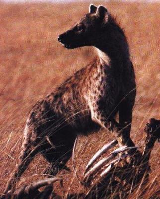 A hyena.