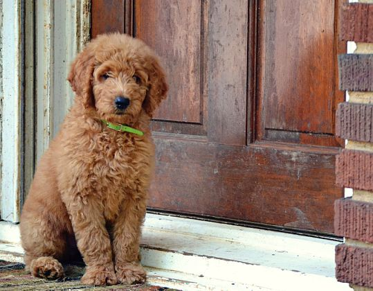 New Owner Advice For Goldendoodle Puppies