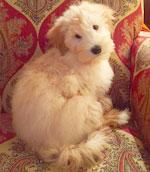 Rocky-1--mini-Goldendoodle