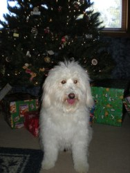Bailey_Christmas_Tree_1_Shuster_f1_mini_goldendoodle