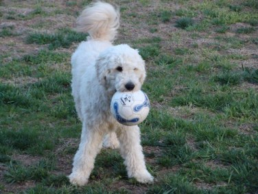 Jackson_Bell_Goldendoodle_English_Creme