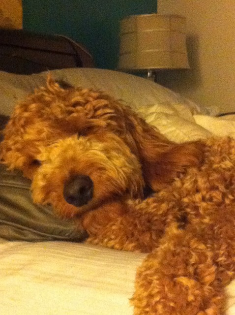 Mini Goldendoodle Great Pet At A Perfect Size