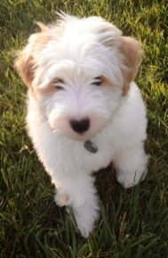 Teddy_Lewis_mini_parti_goldendoodle.sized