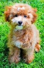 Toy goldendoodle Baya
