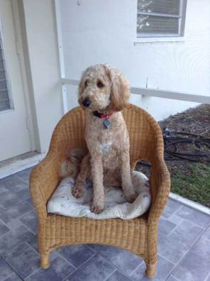 Lola the Goldendoodle