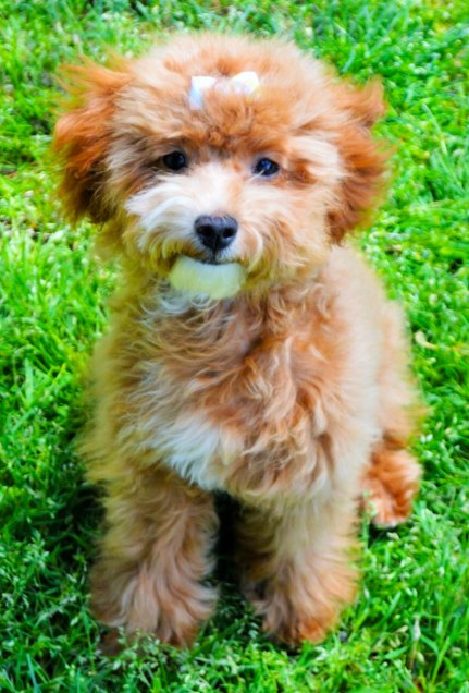 toy-goldendoodle-red-baya