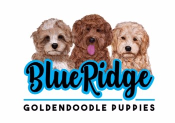 Goldendoodle Puppies for Sale - Health Guaranteed!