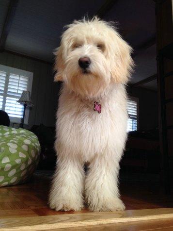 Bella---Paisley-x--Boomer-pup