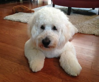 Indy-England---paisley-and-boomer-English-Creme-mini-goldendoodle