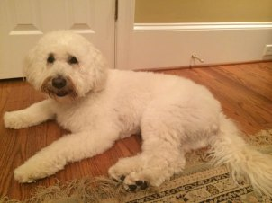 Lucy--paisley-and-Boomer-English-Creme-mini-goldendoodle