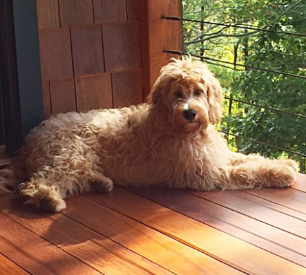 Maggie-mini-goldendoodle