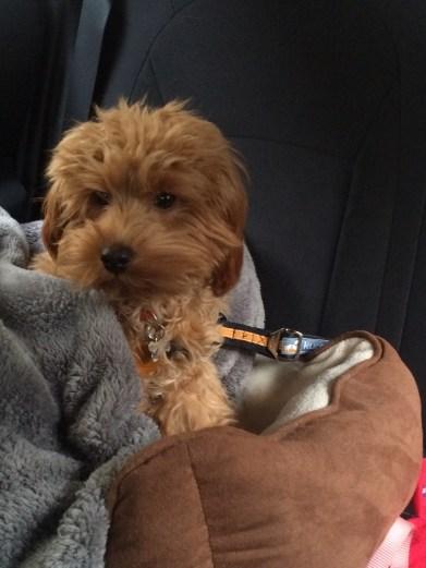 Maude Szostek - toy:petite goldendoodle Reba and Dexter pup