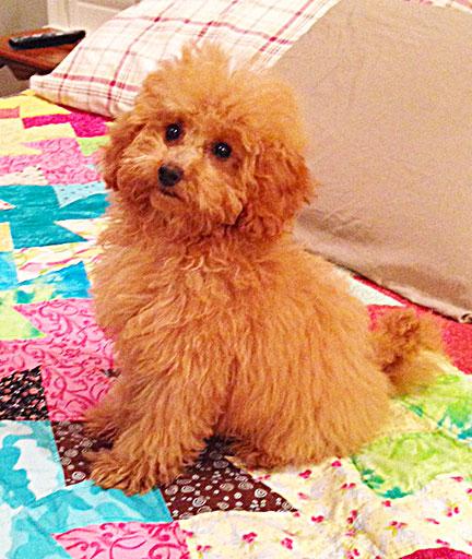 Pippi- Goldendoodle puppy