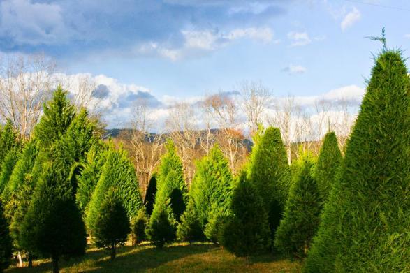 Holly Hill Christmas Tree Farm