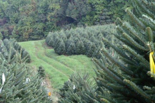 Frosty Mountain Christmas Trees