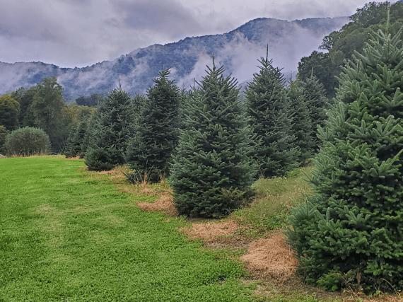 Mehaffey Tree Farm