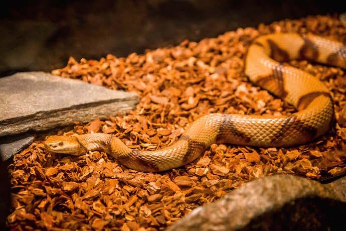 Diamondback Rattlesnake at Chattahoochee Nature Center's Discovery Center