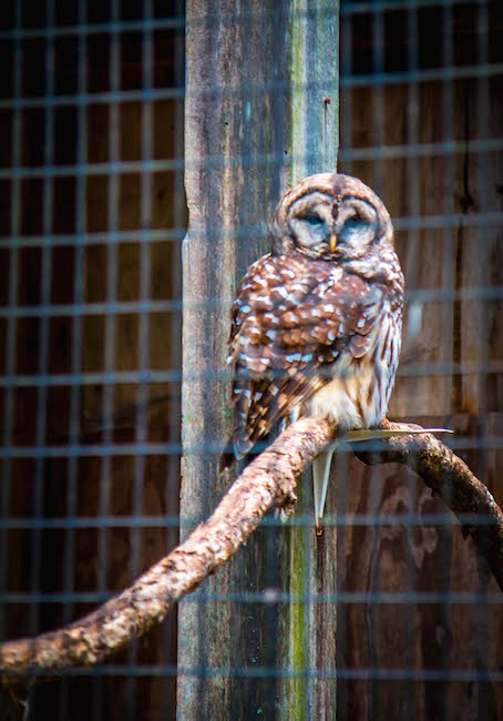 Rescued Barred Owl at Chattahoochee Nature Center in Roswell GA