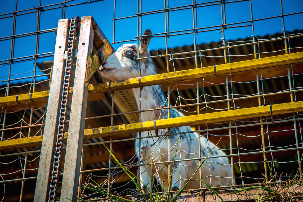 Remote Feeding a Goat at Goats on the Roof in Tiger GA